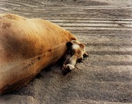 RICHARD MISRACH : DEAD ANIMALS #454